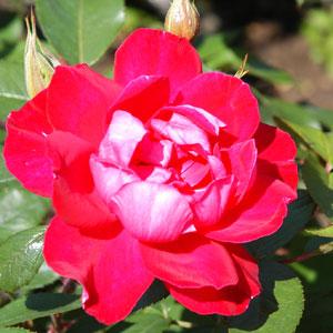 バラ園のスカーレットイワミザワ